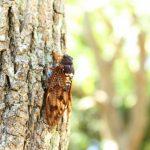 虫の声と虫の音|日本人の脳だけが捉える蝉の鳴き声