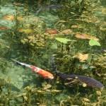 モネの池の場所と行き方。岐阜県関市板取にある絵画のような池の見頃とアクセス
